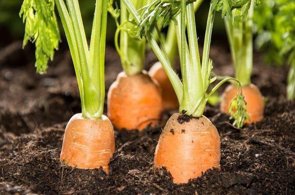 Морковь для сибири лучшие сорта