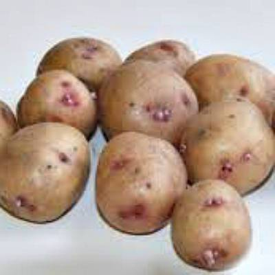 Описание сорта картошки синеглазка