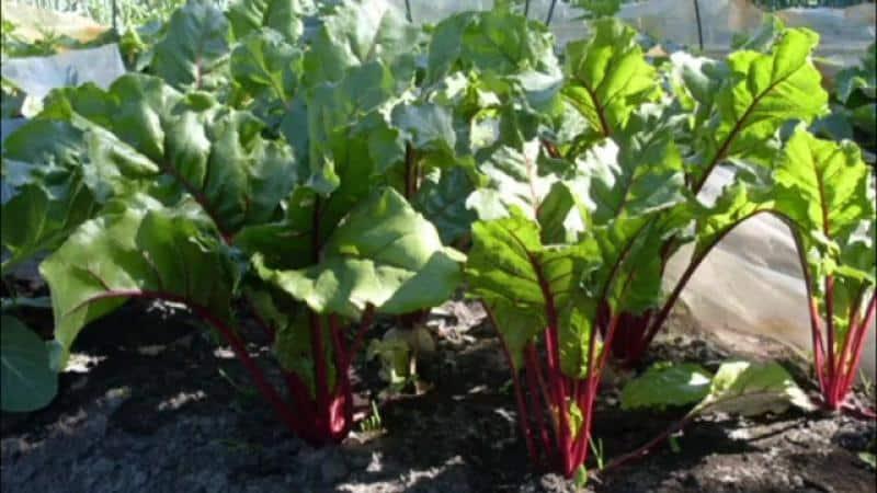 Подробная инструкция по посадке семян свеклы. нюансы для открытого грунта и домашних условий