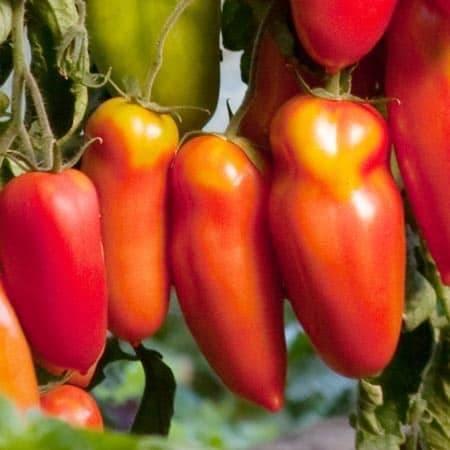 Томаты алый мустанг отзывы фото урожайность
