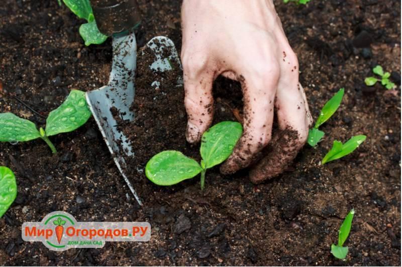 Через сколько дней всходит щавель после посева семян, как быстро по времени, почему долго не растет, что делать, как выглядит на фото при посадке в открытый грунт? русский фермер