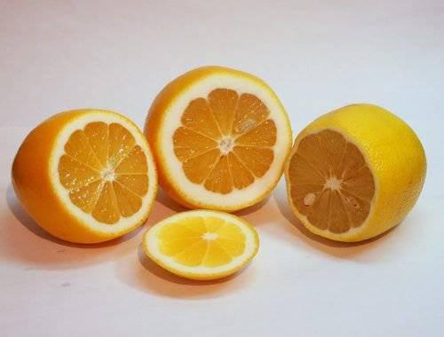 Сорт лимона ташкентский: фото, отзывы, описание, характеристики.