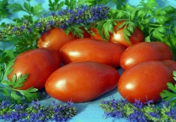 """Томат """"челнок"""": характеристика, описание, урожайность сорта, фото и видео, особенности выращивания помидор русский фермер"""