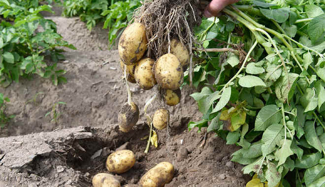 Сорта картофеля: описания, фото, отзывы на supersadovnik.ru