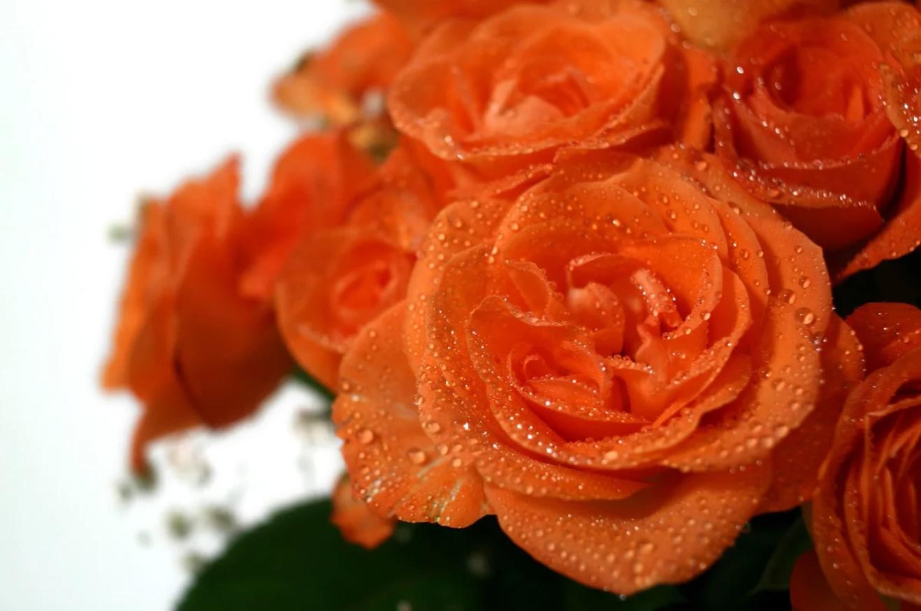Как сохранить розы в вазе дольше всего - способы, чтобы розы дольше стояли в вазе с водой - видео инструкции