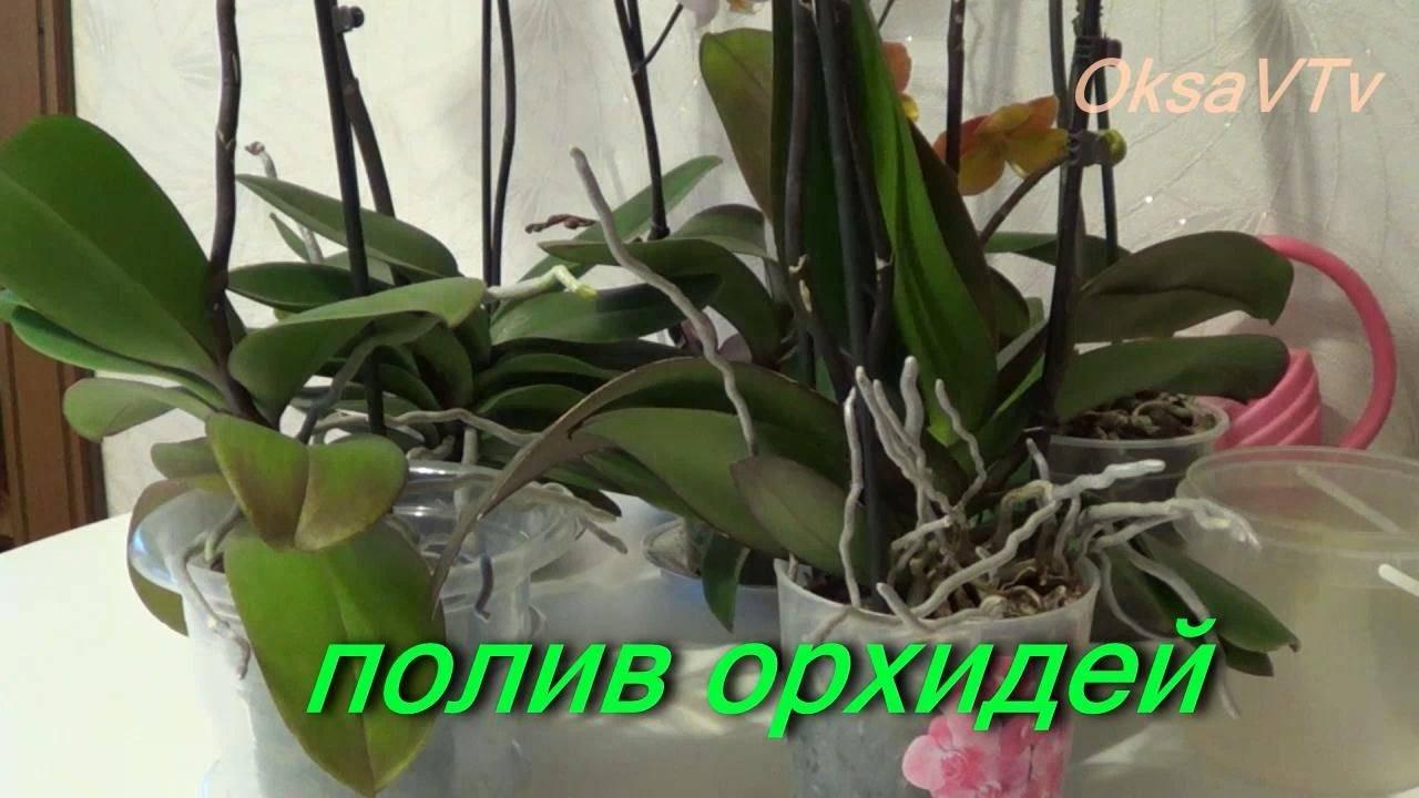 Как часто поливать в домашних условиях орхидею фаленопсис, сколько раз в неделю это нужно делать, какой водой пользоваться, как орошать растение? selo.guru — интернет портал о сельском хозяйстве
