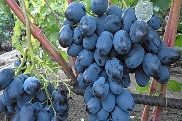Виноград каталония: описание и характеристики сорта, плодоношение и выращивание