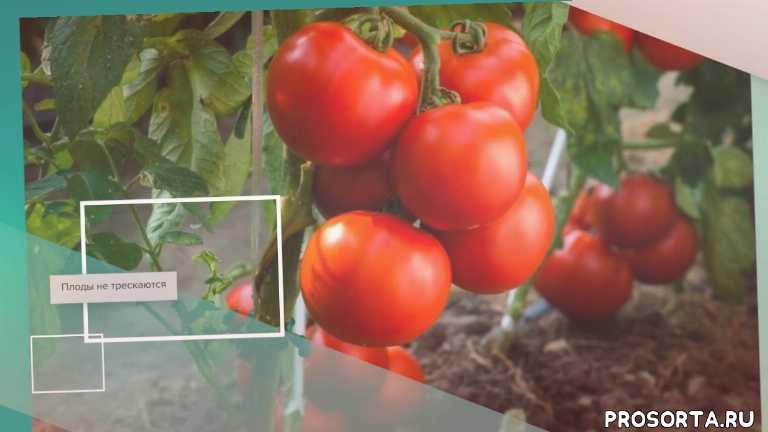 Томат жонглер — описание сорта, урожайность, фото и отзывы садоводов