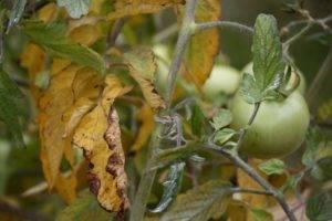 Сохнут листья у рассады помидоров - что делать