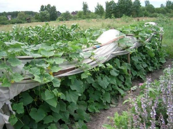 Выращивание огурцов в открытом грунте в подмосковье - сроки и правила посадки семян и рассады
