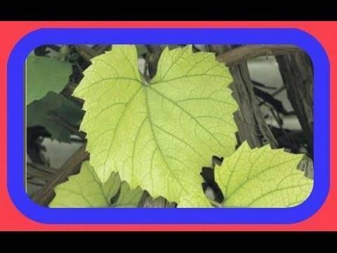 Желтеют листья винограда в начале лета, что делать