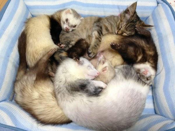 Кошка и хорёк | catstock
