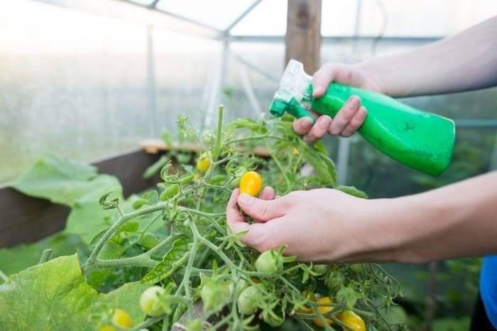 Внекорневая подкормка томатов — лучшие удобрения для томатов в теплице и на открытом грунте. инструкция по применению подкормки + 100 фото