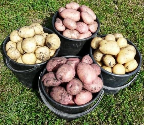 Картофель адретта: подробное описание, характеристика сорта и фото русский фермер