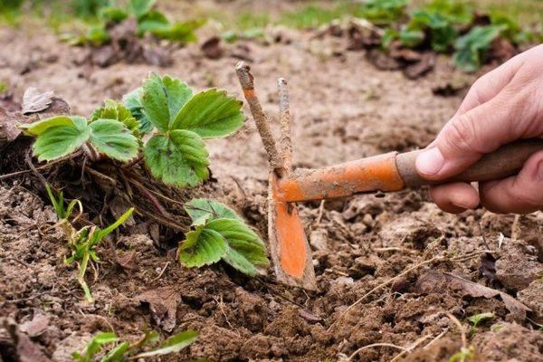 Как правильно ухаживать за клубникой (садовой земляникой) весной