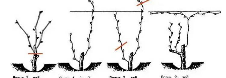 Формирование винограда - сроки формирования, особенности обработки и советы по выбору инструмента (140 фото)