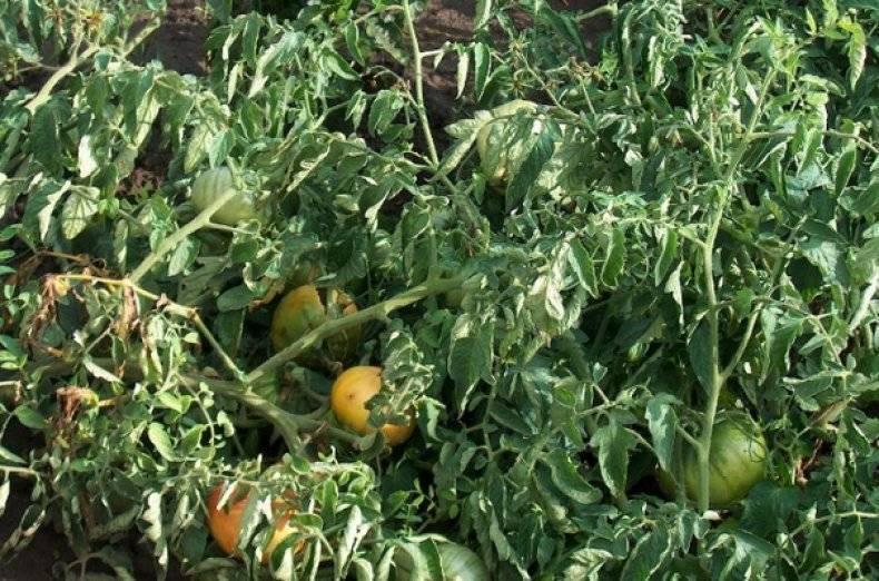 Как избавиться от болезней томатов раз и навсегда