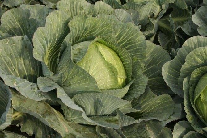 Сколько мороза выдерживает капуста. когда рубить позднюю капусту – до или после заморозка? | дачная жизнь