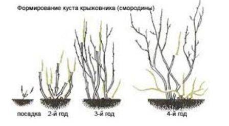 Подготовка крыжовника к зиме — уход за кустарником осенью