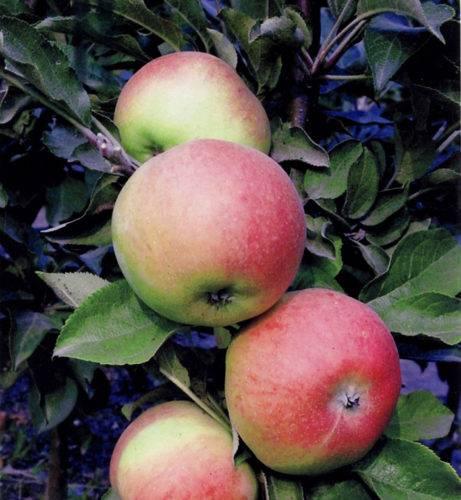 Колоновидные яблони для сибири: сорта, отзывы, посадка и уход