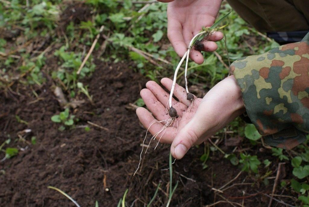 Выращивание черемши из семян