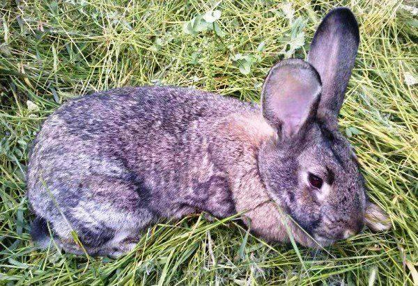 Дитрим: инструкция по применению в ветеринарии для птиц и животных