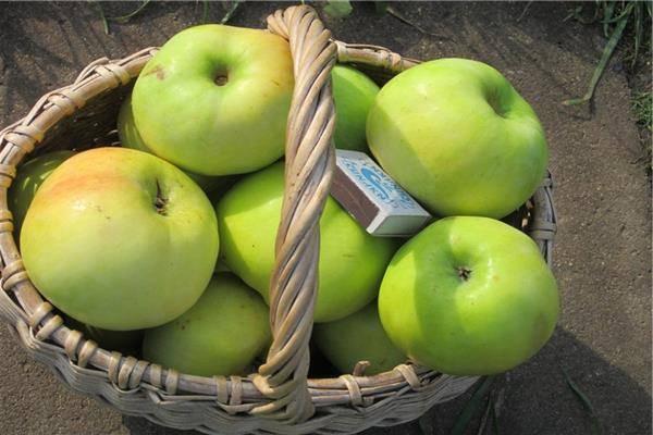 Яблоня мартовское: описание, посадка и уход, отзывы и фото