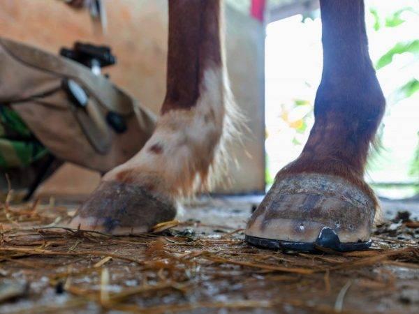 Подкованная лошадь (28 фото): зачем подковывают коней? какие нужны подковы? правильная подковка в домашних условиях