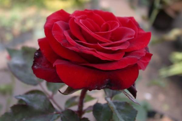 Парковая роза посадка и уход, выращивание и размножение +фото