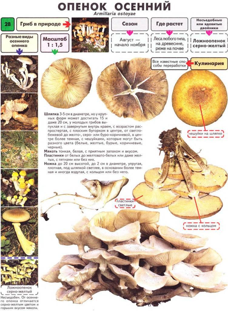 Грибы маслята - 75 фото определения съедобных и полезных грибов