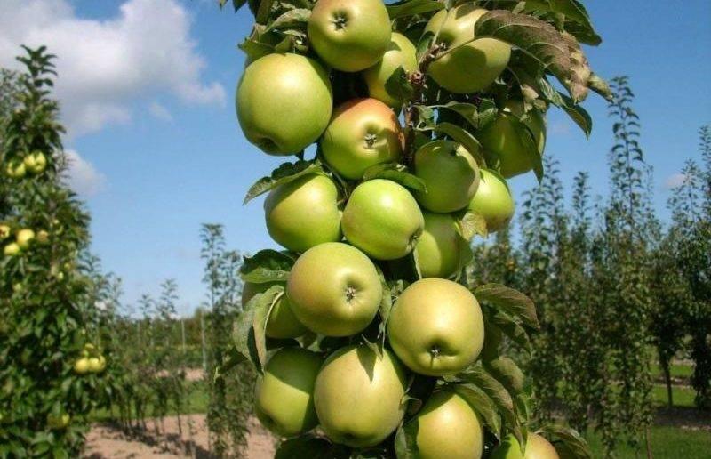 Сорта колоновидных яблонь: фото, названия, описание, отзывы, характеристика