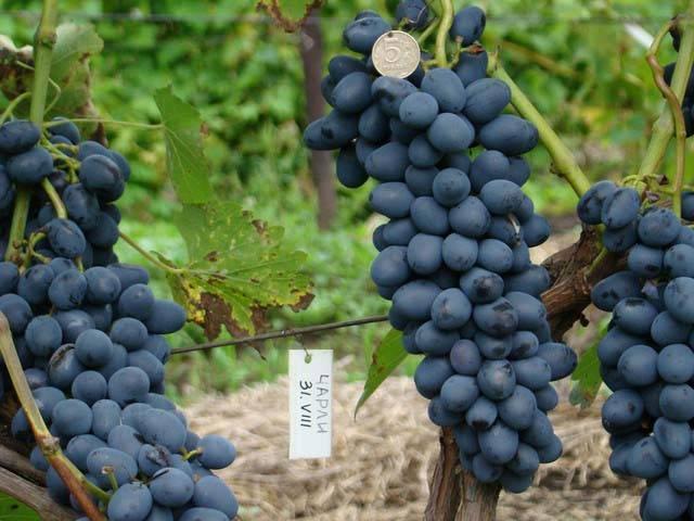 Виноград чарли: фото, описание сорта