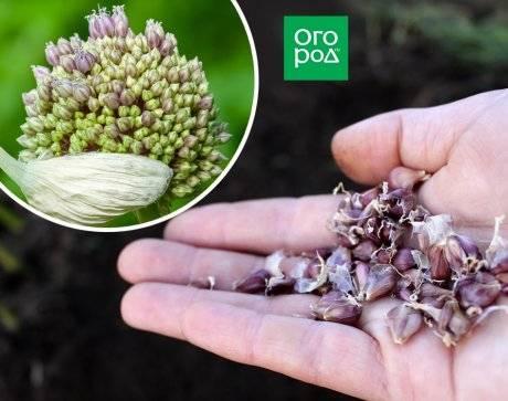 Выращивание чеснока из бульбочек без грядки