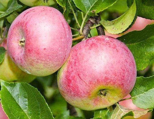 Яблоня уэлси: описание, фото, отзывы садоводов