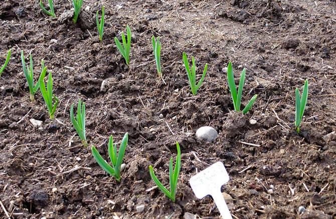 Выращивание чеснока в открытом грунте: посадка, уход, подкормка