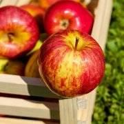 Прекрасная яблоня услада: описание, фото