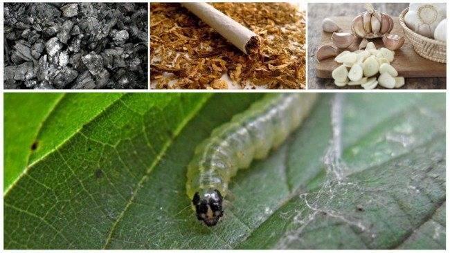 Как избавиться от гусениц на помидорах в теплице - огород, сад, балкон - медиаплатформа миртесен