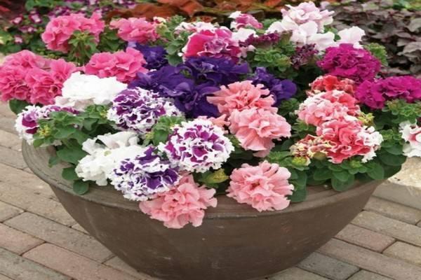 Как не запутаться в сортах петуний и выбрать подходящую классификация. фото — ботаничка.ru