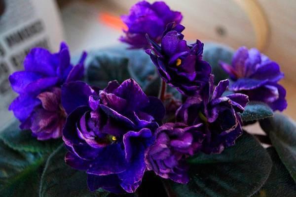 Фиалка «Черная жемчужина»: описание сорта и фото