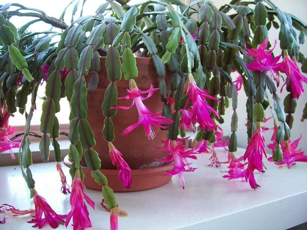 Рождественский кактус, или schlumbergera truncata: описание, правила и проблемы выращивания