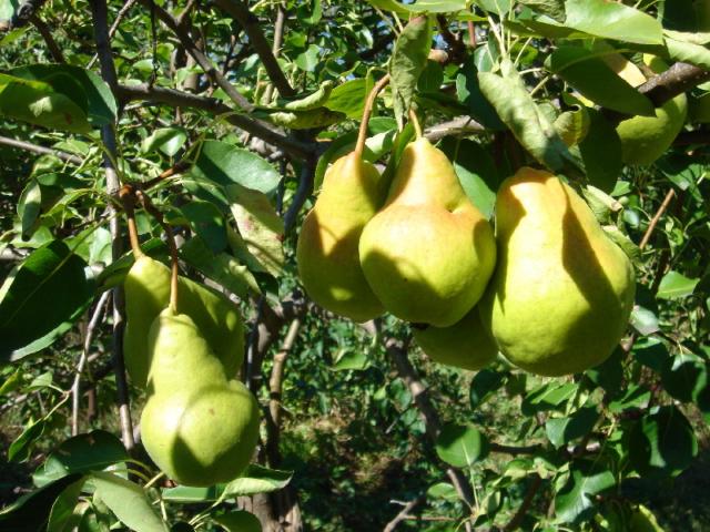 Почему груша не цветёт и не плодоносит, что делать?