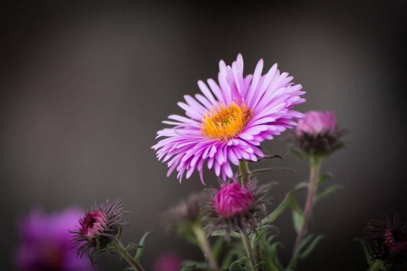 Цветы октябрины выращивание и уход
