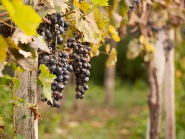 Подкормка винограда осенью коровяком, куриным пометом, в первый год, золой, суперфосфатом