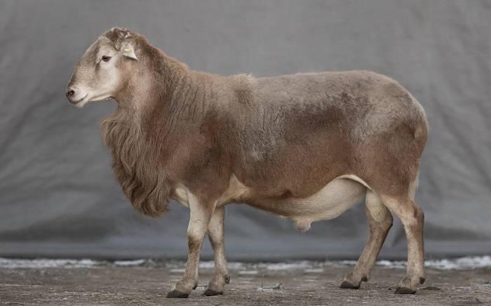 Виды и породы овец и баранов: их описание, фото и видео виды и породы овец и баранов: их описание, фото и видео