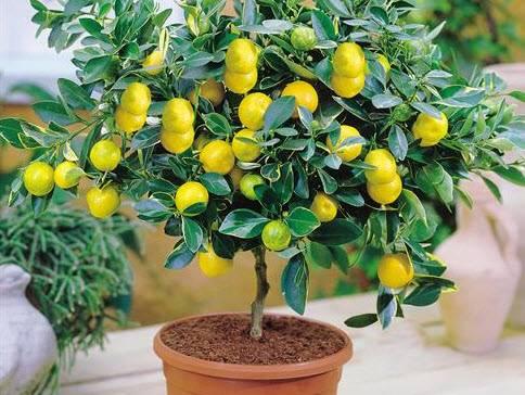 Почему у лимона желтеют листья?
