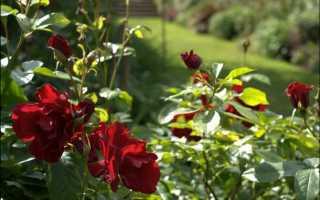 Розы в сибири — как укрыть цветы на зиму