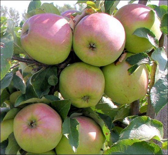 Яблоня розовый жемчуг