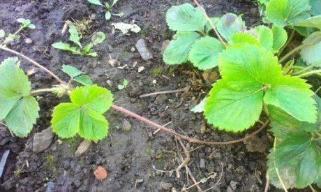 Размножение клубники при помощи усов, семян и розеток