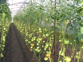 Как правильно сажать помидоры в теплице