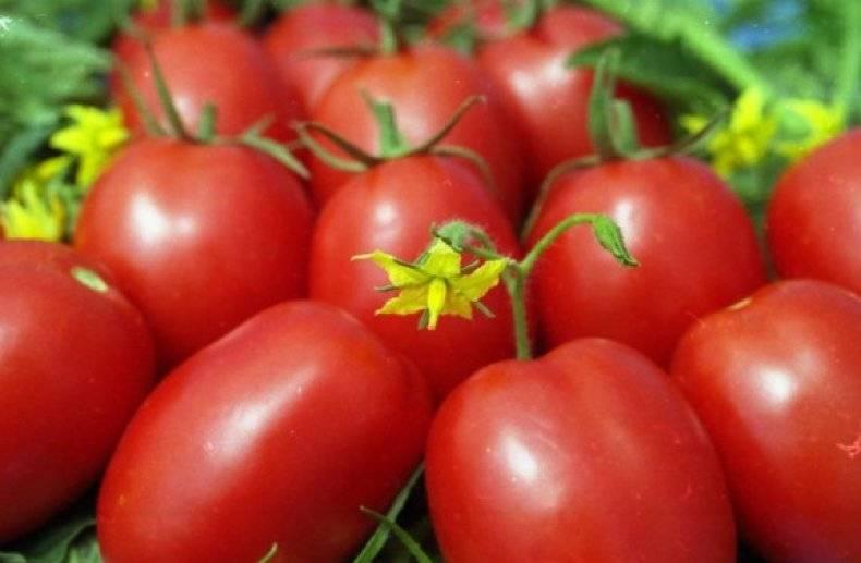 Описание и характеристика сорта томата маруся, его урожайность